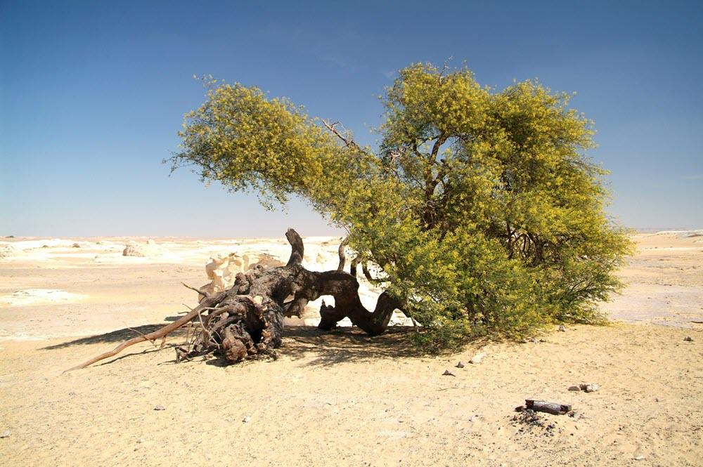 Acacia boom in de woestijn